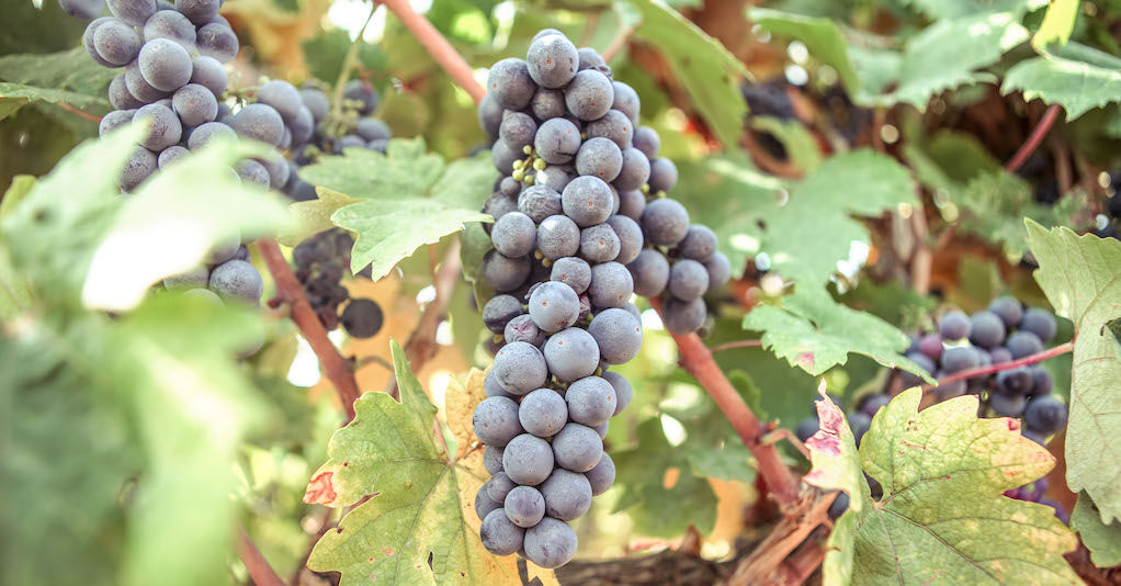 Primitivo - Olasz bor a javából