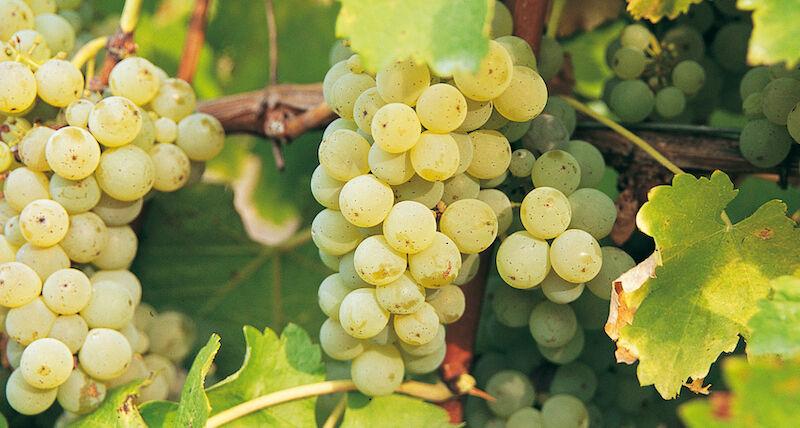 Sauvignon Blanc Bor-Szőlőfajta-Elegáns, vadóc