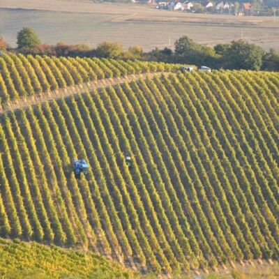 Thummerer borok-Szőlőterületek